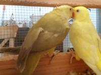 Indian ringneck pair for sale Lutino male + golden