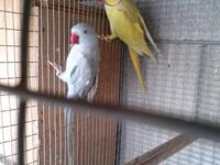 Hi i have pair of indian ringnecks for sale they are