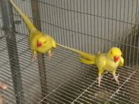 I have 2 pairs of indian ringnecks and they are arguing