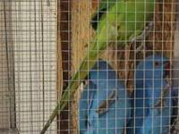 hi i would like to sell my indian ringneck for 150. she