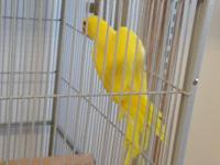 I have two female indian ringnecks for sale one lutino