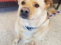 Indie's story Spirited Indie is a lab/shepherd mix who