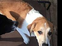 Indie's story Indie is a Lab/Pyrenees mix. She is