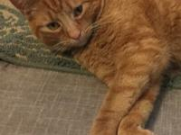 Indy is a wonderful young male cat. He is very friendly