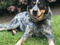 Hi, my name is Indy! I am a 5 year old male cattle dog.