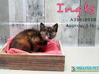 INGLS's story INGLS IS A SWEET ACTIVE YOUNG KITTEN