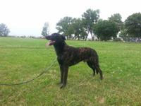 Kane is a 2 year old male Dutch Shepherd. He is an