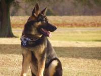 Male German Shepherd 11 months old.Intact and very