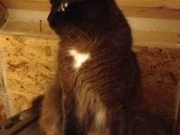 Intact male Ragdoll, about 2 years old. He has sired