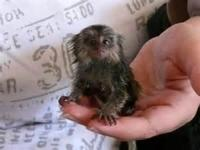 Animal Type: Marmoset monkey We have Adorable Hand