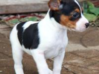 Animal Type: Dogs Breed: Rat Terrier BOTH PARENTS ARE