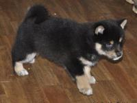 Intelligent Shiba Inu puppies,just over 13 weeks