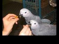 Lovely African Grey ready for a new and forever home.