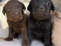We have two AKC litters available. Both sired by an