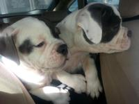 "2 very lovable ""International Olde English Bulldogge"