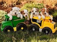 Olde English Bulldogge puppies $1,550 IOEBA /UCA Double