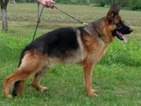 Hugo vom haus ditrich is 1 1/2 year old , had been
