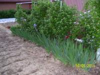 Iris Plants. 4 to 6 fronds in each group. Dug with dirt