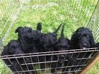 These lovely loving Irish Doodle young puppies are