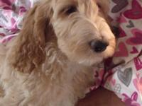 Beautiful Irish Doodle puppies!! Have had their 1st