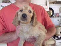 Beautiful Irish Doodle puppies!! Will have age