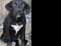 Irish Setter - Delery - Medium - Baby - Female - Dog