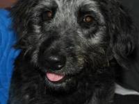 Irish Wolfhound - Charlotte - Medium - Young - Female -