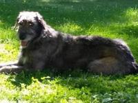 AKC registered Irish Wolfhound puppies. We are taking a