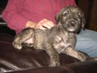 Georgia born- Exquisite litter of wolfhound puppies