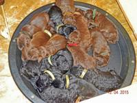 These adorable F1 Labradoodle puppies are sable brown