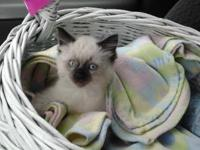 8 week old Siamese kittycat needs home ASAP! He is
