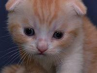iruzduzfdt Registered Scottish fold kittens for