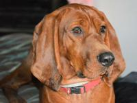 Isabel is a stunning 4 year old Redbone girl that was