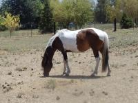 here is a Tri-Tabino gorgeous Paso Fino mare that has