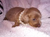 Isabella n tan mini dachshund will be ready to pick up