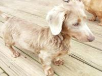 7 month Isabella n tan female mini dachshund purebred