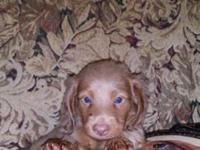 2 isabella tan male mini dachshunds. They will have age