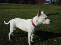 Isabel is a 2 year old Pit Bull who is deaf. She is