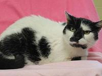 My story Isabelle is a black and white, spayed female