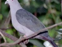 I have 2 pairs of Island imperial pigeons available. If