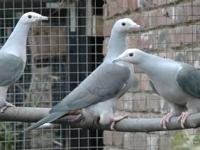 I have 2.3 pairs of Island imperial pigeon available.