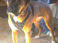 Looking for a fawn female boxer, 2 years of age or