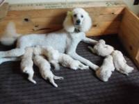 I am looking for an all white female poodle pup.