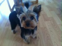 I have a 4 lbs 8 month old yorkie that needs a good