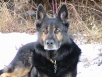 I am looking to purchase an AKC Female German Shepherd.