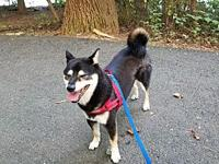 Itachi's story Itachi is a small 24lb, 4-year-old,
