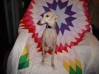 Female Italian Greyhound. About 2-3 yrs old. Very sweet