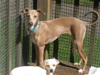 Italian Greyhound - Bambi - Small - Young - Female -