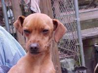 Italian Greyhound - Dante - Small - Young - Male - Dog