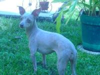 Italian Greyhound - Gracie - Small - Senior - Female -